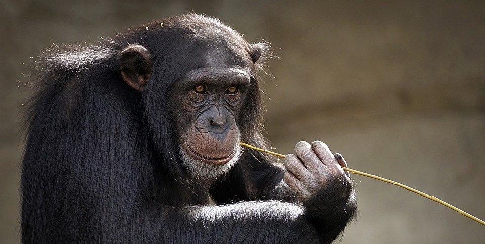 """""""Podejrzany szympans"""" – część 1."""