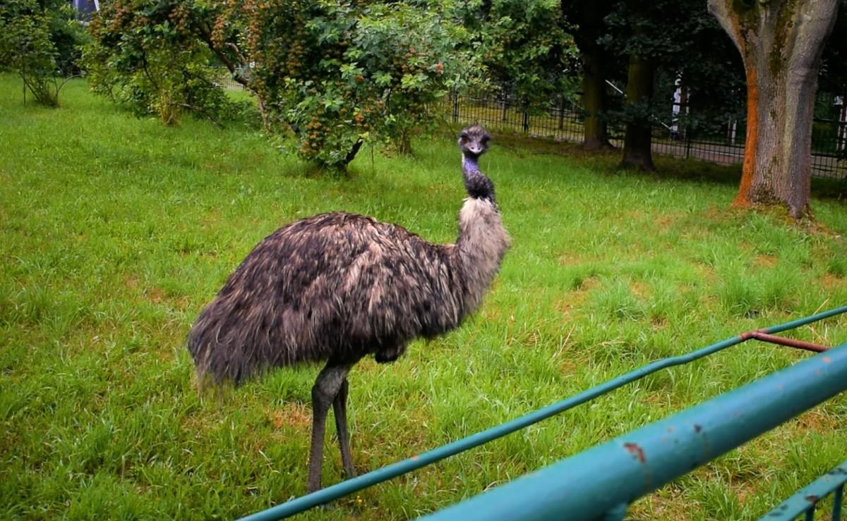 WŚRÓD ZWIERZĄT – EMU